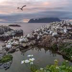 Gannets , Morus basanus, in Lofoten thumbnail