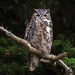 Great Horned Owl (E_Rick1502) Tags: