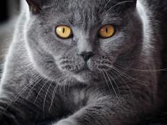 Conner Sunday 20. Aug 2017 (michaelbeyer_hh) Tags: cat bkh britishcat penf