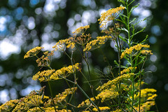 Bronze fennel. (Calusarul) Tags: august flower foeniculum foeniculumvulgare garden outdoor outdoors summer va virginia vulgare bronze fennel bokeh trees sky yellow unitedstatesofamerica us
