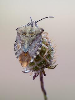 Carpocoris sp.