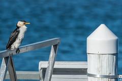 Australian Pied Cormorant (Merrillie) Tags: woywoy cormorant wildlife phalacrocoraxvarius piedshag nature bird birds piedcormorant animals fauna australia newsouthwales animal