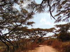 DSC00283 (francy_lioness) Tags: safari jeep animals animali ippopotami leone savana gnu elefante iena pumba tanzaniasafari ngorongorocratere gazzella antilope leonessa lioness facocero