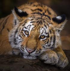 Amur Tiger Cub at Zoo Leipzig (Jasper Gielen) Tags: amurtiger siberiantiger siberischetijger tijger tiger tigredesibérie tigre pantheratigrisaltaica amoertijger sibirischertiger sibirisktiger harimausiberia 150600mm nikon sigma d5300 portrait portret porträt welp cub