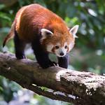 Red panda thumbnail