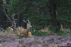 Edelhert Hoge Veluwe (G Vermeer) Tags: fauna wild zoogdieren natuur wildlife hogeveluwe veluwe hert nikond500 nikon200500mm bronst deer red reddeer hirch hirsche edelhert