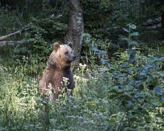 IMG_6636 (Branko.Hlad) Tags: medvedka bears gozd narava živali animals