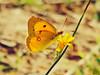 macro (danie _m_) Tags: nature beautyinnature butterflies insects pollinator summer naturepic macro wildflowers lovenature flowerpower wildlife flowercolors beautiful flowers yellow