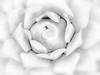 Thorny Beauty (bethrosengard) Tags: bethrosengard photomanipulation digitallyenhanced photoart digitalmagic digitalart