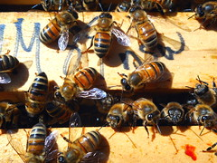 Macro over-haed of brood box in H3 beehive end August 2017 (nicephotog) Tags: bee beehive hive worker broodbox top overhead swarm macro closeup