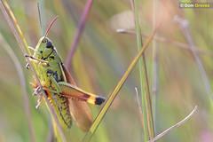 Large marsh grasshopper IV (Dom Greves) Tags: august bog dorset hartlandmoor heathland insect invertebrate largemarshgrasshopper mire moorland orthoptera purbeck summer uk wildlife