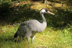Crane,,,,injured,,,,wings (irio.jyske) Tags: animalhospital injured crane wings firsaid summer grass park doctor canon canoncamera canonlens canonphoto