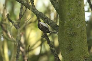 Common Treecreeper (certhia familiaris)