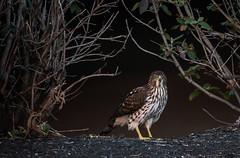 cooper Hawk (esheyes) Tags: ithinkitscooperhawk correctmeifiamwrong shotthiswhileiwasrunningthisweekend itwasininahuntingmodeinsidebushes birds hawk raptor columbus nikon 2017