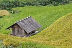_Y2U9640.0915.Dế Xu Phình.Mù Cang Chải.Yên Bái. (hoanglongphoto) Tags: asia asian vietnam northvietnam northwestvietnam landscape scenery vietnamlandscape vietnamscenery vietnamscene terraces terracedfield terracedfieldlandscape terracedfieldlandscapeinvietnam harvest hillside house canon tâybắc yênbái mùcangchải dếsuphình phongcảnh ruộngbậcthang lúachín mùagặt ruộngbậcthangmùcangchải mùagặtmùcangchải lúachínmùcangchải sườnđồi ngôinhà nhà canoneos1dx canonef100400mmf4556lisusmlens countryside countrysideinvietnam