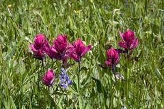 Rosy paintbrush, Castilleja rhexifolia (Jeff Mitton) Tags: rosypaintbrush castillejarhexifolia colorado wildflower hemiparasite mountains gothic earthnaturelife wondersofnature