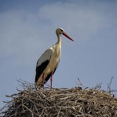 Top Of The World (MrBlueSky*) Tags: stork bird nest wildlife nature colour comporta alentejo portugal kingdomanimalia travel canon canoneos canonm6