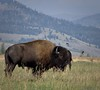 2017-08-18-0230 (mech_rosey) Tags: animal bison country elkranchflats grandtetons location usa wy