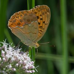 Pallas's Fritillary (mishko2007) Tags: argynnislaodice pallassfritillary korea 105mmf28