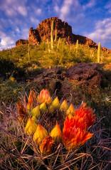 Tucson Mountain Park (gmcghee1) Tags: tucson mountain park arizona barrel cactus bloom flowers saguaro orange focus stack