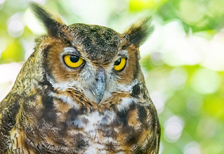Great horned owl, Land between the Lakes