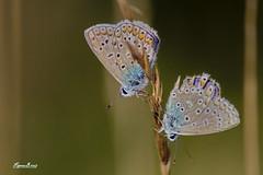 Argus bleu ou Azuré de la Bugrane / Polyommatus icarus L.   HBW (BPBP42) Tags: animaux papillon butterfly insecte bokeh