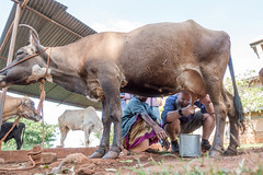 Milking a Cow (Mark Griffith) Tags: amazon amazoncom bangalore india sonyrx100v worktrip bengaluru countryside ournativevillage offsite 20170920dsc01001