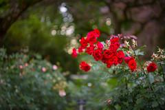 IMG_2004 (Markus Heinonen Photography) Tags: helios 442 m42 kukka flower bokeh puutarha garden hatanpää arboretum hatanpään tampere suomi finland
