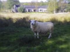 _IMP1877 (HyperNotActive) Tags: pentax pentaxq7 sheep 07mountshieldlens