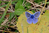 IMG_9609 Argus bleu mâle (Michel Grégoire) Tags: argusbleu