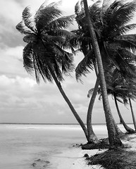 Cocotiers de Rangiroa sous le vent (Christian Chene Tahiti) Tags: olympus c5050z cocotier mer ciel vent palmes sable plage racines nuage lagon lagoon beach sea wind sand nb eau flore floredepolynésie nature polynésie polynésiefrançaise voyage tourisme travel coconut tree île îlot motu atoll rangiroa tuamotu extérieur plante palmier arbre paysage rivage 7dwf landscape