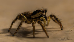 Zebra Spider (JDS-photo) Tags: spider zebra small insect lightroom canoneos80d canonef100mmf28lmacroisusm