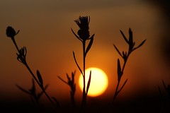 *** (pszcz9) Tags: przyroda nature natura zbliżenie closeup słońce sun zachódsłońca sunset beautifulearth sony a77