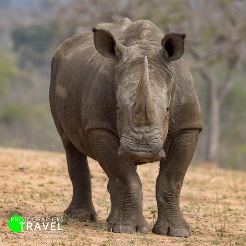 White Rhino - Sabi Sabi 2016