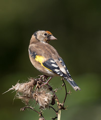 Young Goldfinch (susie2778) Tags: olympus omdem1mkii 300mmf4pro millerswood mft johnstantonphotography johnstantonphotographycouk goldfinch bird woodland pose m300mmf40mc14