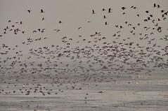 Fulvous whistling Duck (Natureholic001) Tags: baikkabeelwildlifesanctuary srimongal bangladesh natureholic whistlingduck