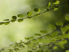 Branchage **-*-+----° (Titole) Tags: branches green titole nicolefaton symphorine symphoricarpos symphoricarpus 15challengeswinner challengegamewinner thumbsup thechallengefactory