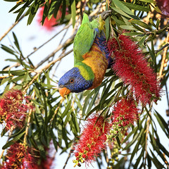 bluey in the bottle brush (Fat Burns ☮ (on/off)) Tags: rainbowlorikeet bluey parrotbird australianbird australianparrot australianfauna fauna rainbow nectar nikond500 sigma150600mmf563dgoshsmsports nature outdoors barcaldine queensland australia