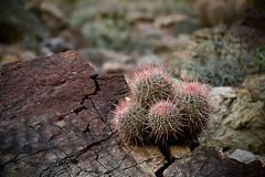 Prickly situation (Marc Briggs) Tags: dsc5932aw pricklysituation deathvalley deathvalleynationalpark cactus landscape plant plants rock desert mojavedesert mojave barrelcactus