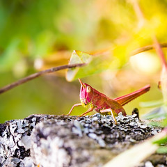 Grasshopper in nature (Zeeyolq Photography) Tags: france jura canon100mmmacro beautyinnature nature grasshopper macros insect canon100mm28lisusm lesrousses bourgognefranchecomté fr