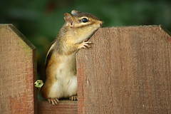 The Guardian Chipmunk (Adam Maly) Tags: reticulated chipmunk fence chirp potawatomi zoo south bend indiana