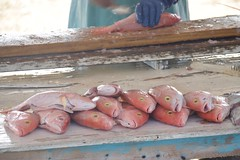 Red snapper (Patrick Lecointe) Tags: caraïbe orange rouge poisson fish caymen redsnapper