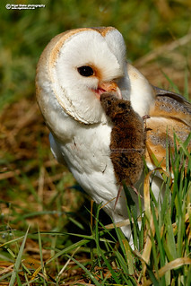 Barn Owl, Tyto alba with a Short-tailed Vole