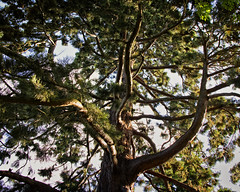 The Redwood (MrBlueSky*) Tags: redwood tree branches outdoor nature colour kewgardens royalbotanicgardens london canon canoneos canonm6