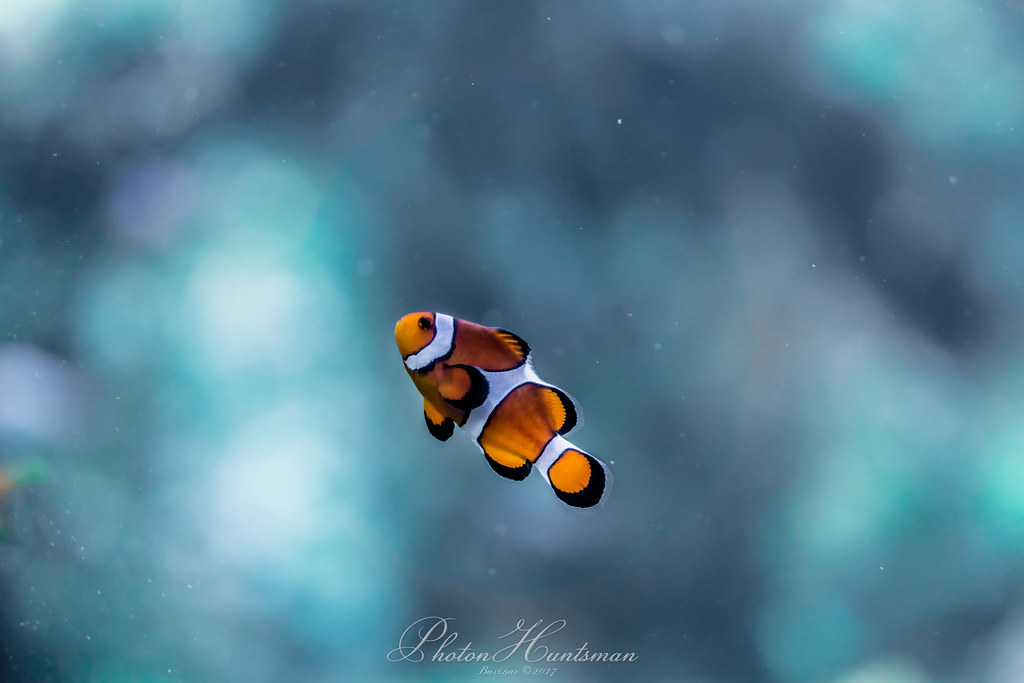 The world 39 s best photos of clownfish flickr hive mind for Blue clown fish