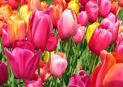 Amsterdam-May'17 (48) (Silvia Inacio) Tags: amsterdam amesterdão holanda holland thenetherlands tulipa tulip macro flowers flores keukenhof lisse garden jardim park parque