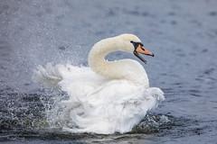 Joyful Joyful! (Linda Martin Photography) Tags: dorset wildlife nature birds muteswan joyful bathing uk longhamlakes coth cygnus olor alittlebeauty specanimals coth5 ngc npc sunrays5