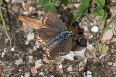 Heemtuin (Anieteke) Tags: heemtuin vlaardingen natuur nature macro fauna insect butterfly bruinblauwtje ariciaagestis