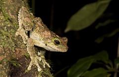 "Green-eyed Tree Frog (Litoria serrata) (Gus McNab) Tags: amphibian amphibians frog frogs herp herpetofauna herpetology amphibia australia ""australian frogs"" frog"" amphibians"" amphibian"" treefrog ""tree hylidae hylid wildlife ""wildlife photography"" fauna"