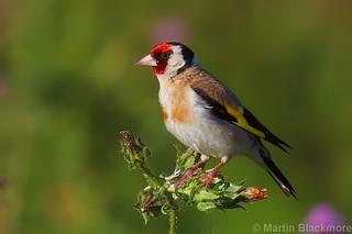 Goldfinch 83744